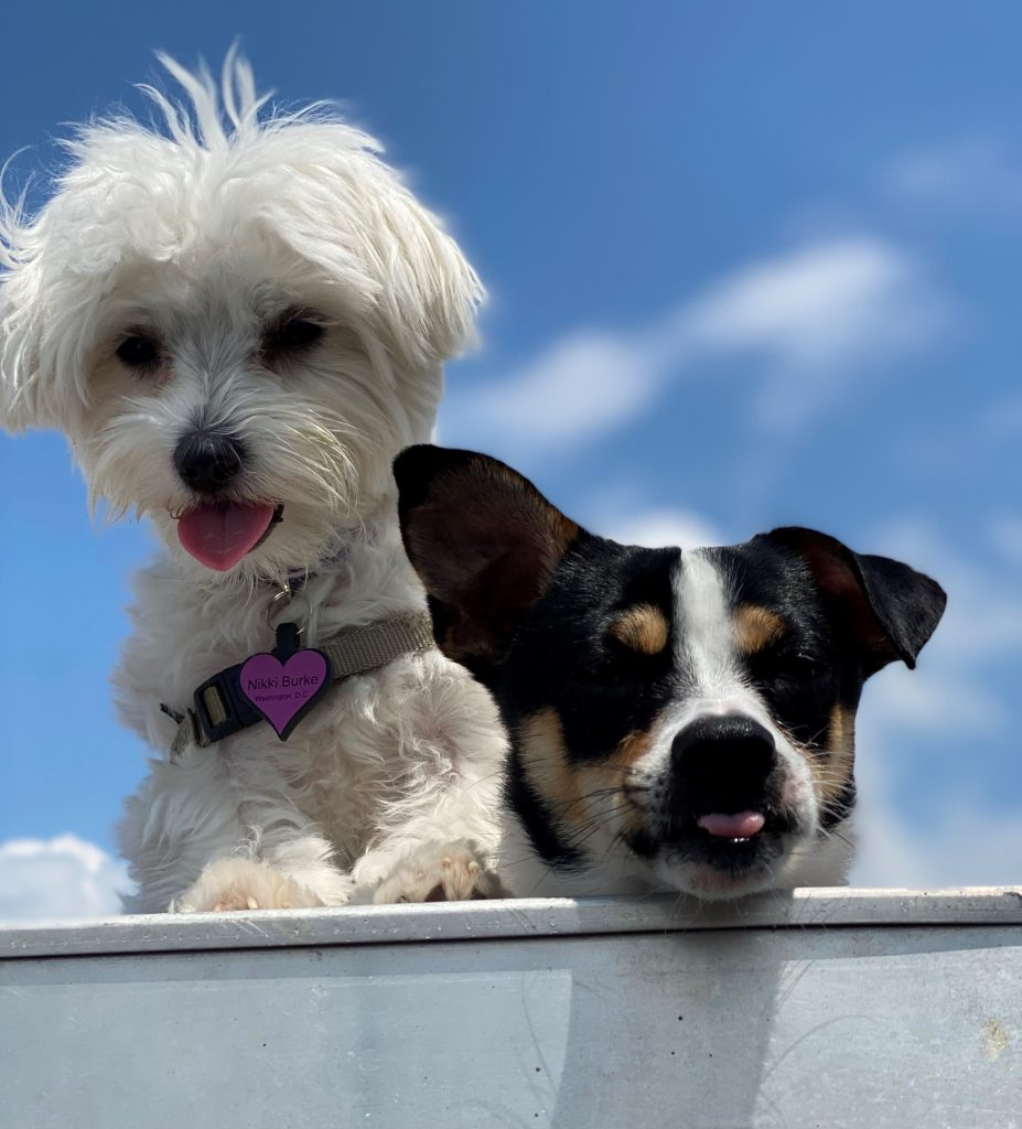 maltese puppy and mixed terrier looking down into doorway